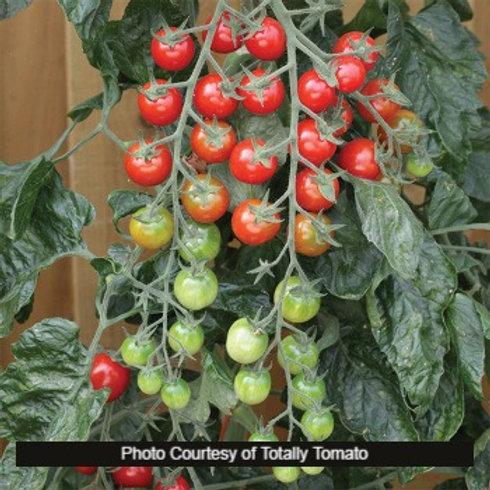 Tomato - Rapunzel Hybrid