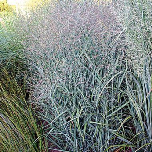Panicum v. Heavy Metal / Switch Grass