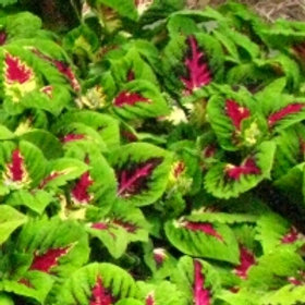 Coleus Kong Jr. Rose