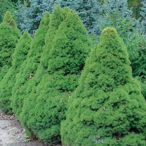 Picea gl. Conica (Dwarf Alberta Spruce)