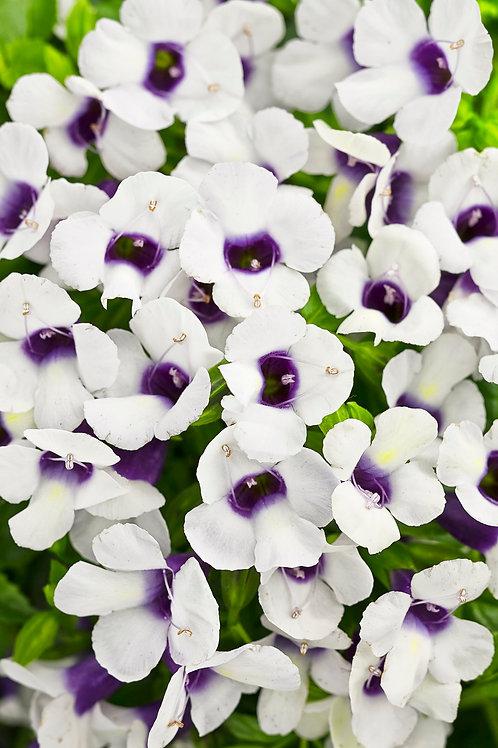 Torenia Catalina Grape-O-Licious (Wishbone Flower)