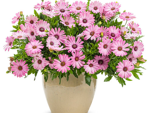 Osteo Bright Lights Pink (African Daisy)