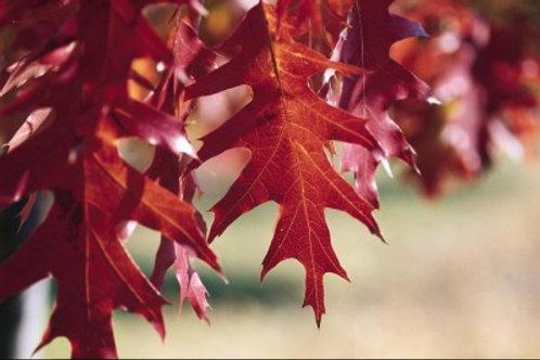 Quercus rubra / Red Oak