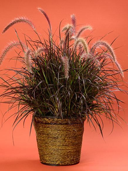 Grass - Pennisetum  rubrum Purple Fountain Grass