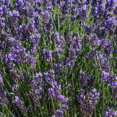 Herb - Lavender SuperBlue
