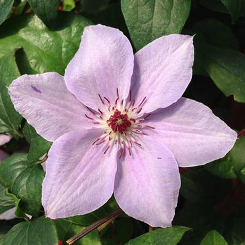 Clematis Still Waters