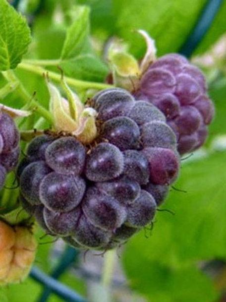 Raspberry - Glencoe (June)