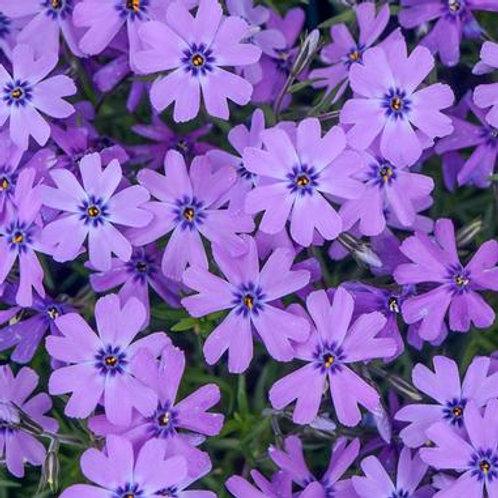 Phlox s. Purple Beauty