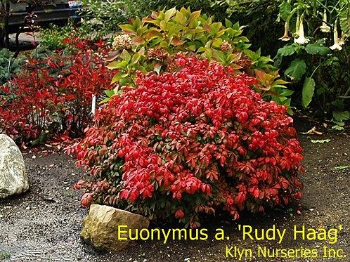 Euonymus a. Rudy Haag
