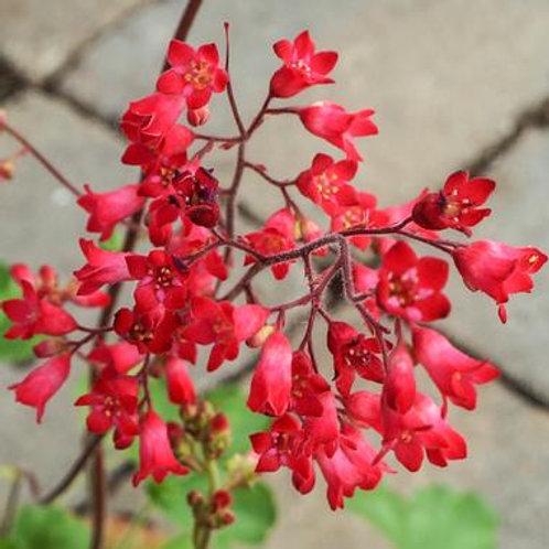 Heuchera sanguinea Firefly