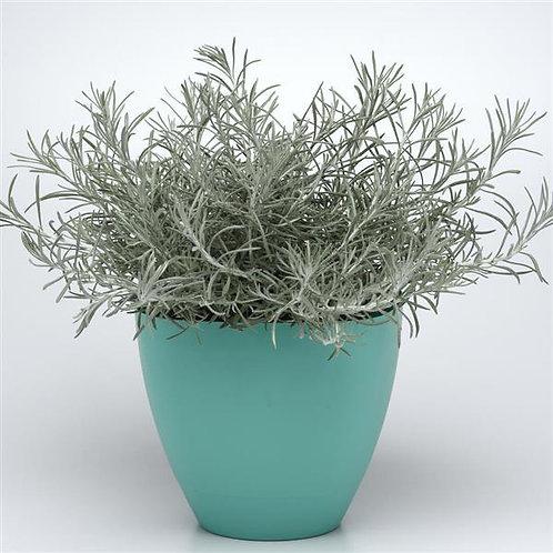 Helichrysum Silver Thread