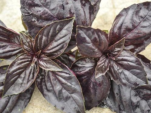 Herb - Basil Red Rubin