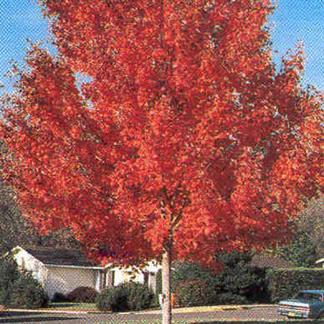 Acer r. October Glory / Red Maple