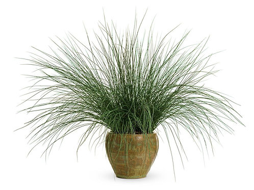 Grass - Juncus Blue Mohawk