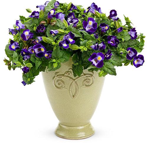 Torenia Catalina Midnight Blue (Wishbone Flower)
