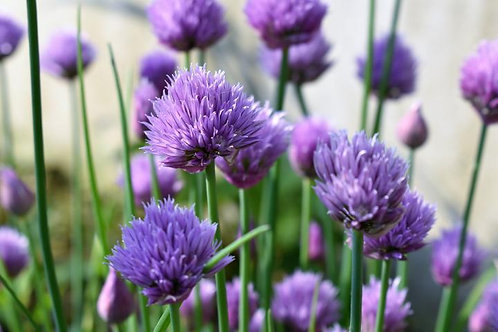 Herb - Chives