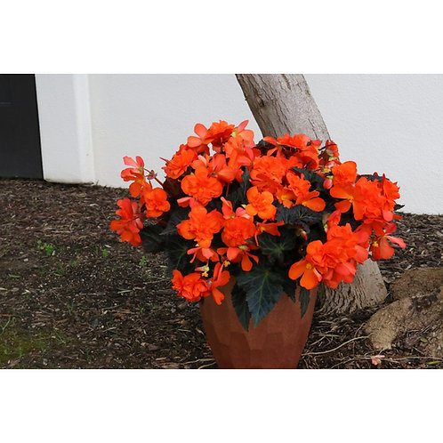 Begonia bol. I'ConiaPortofino Hot Orange