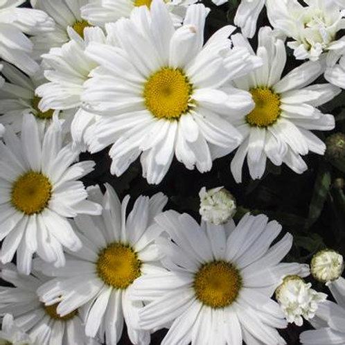 Leucanthemum Daisy May