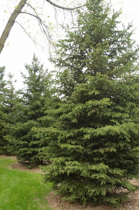 Picea gl. Densata (Black Hills Spruce)