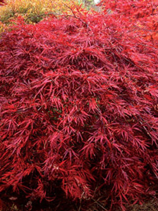 Acer p. Dissectum Inaba Shidare / Japanese Maple