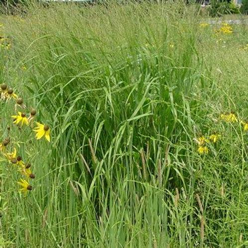 Panicum virgatum / Switch Grass