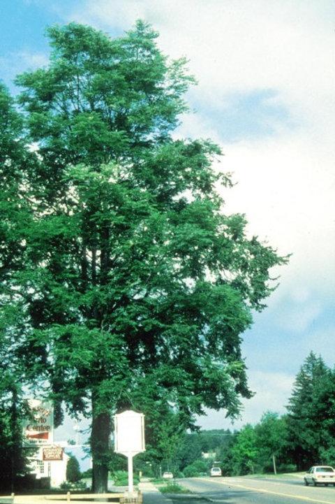 Gymnocladus dioicus / Kentucky Coffeetree