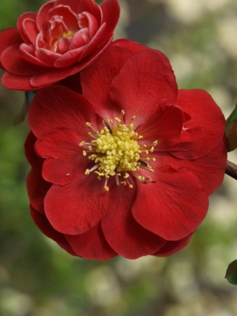 Chaenomeles Double Take Scarlet (Quince)