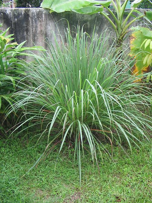 Herb - Lemongrass