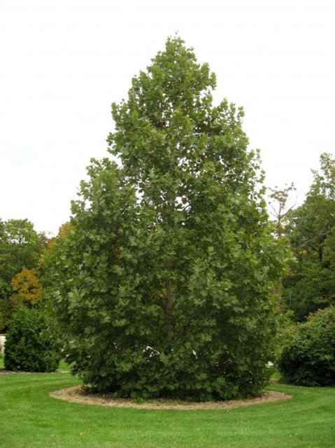 Platanus x a. Exclamation! / London Planetree