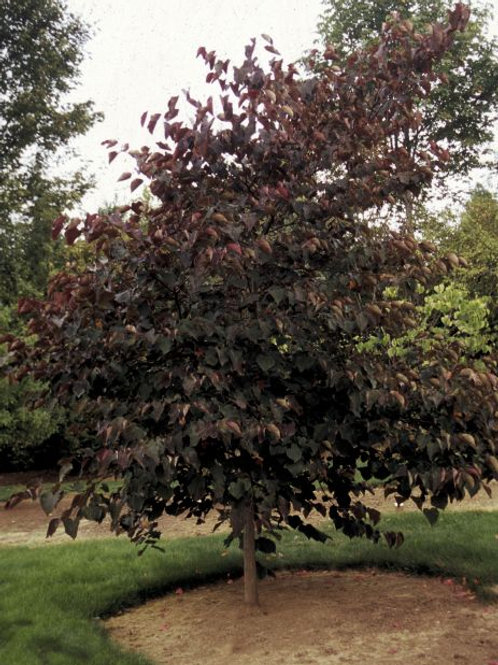 Cercis c. Forest Pansy / Redbud