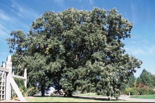 Quercus macro / Bur Oak