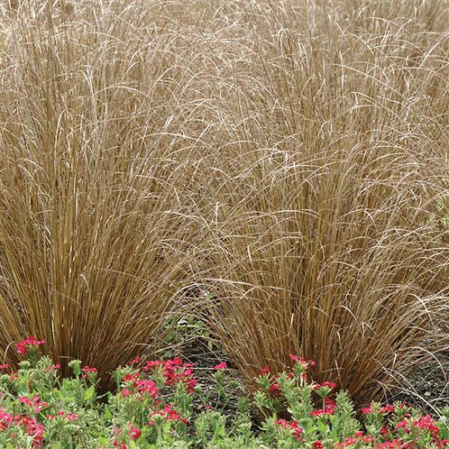 Grass - Carex Red Rooster