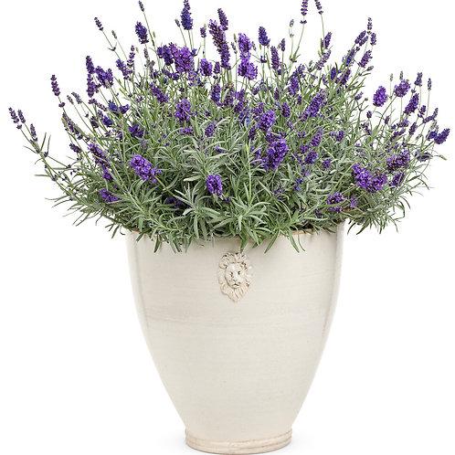 Lavender - Sweet Romance