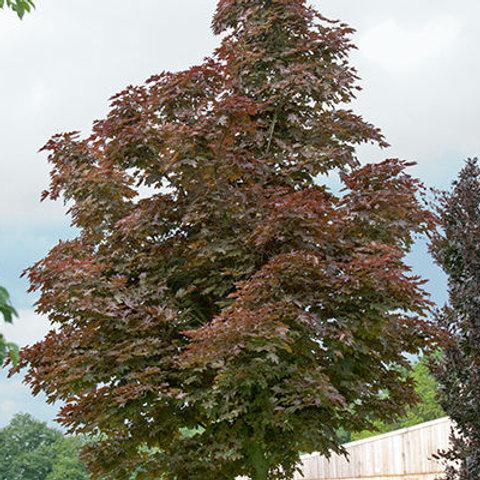 Acer platanoides Crimson Sentry / Maple