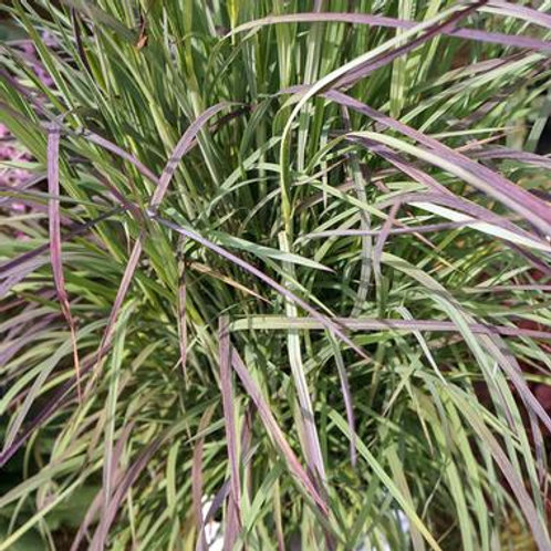 Schizachyrium s. Twilight Zone / Little Bluestem