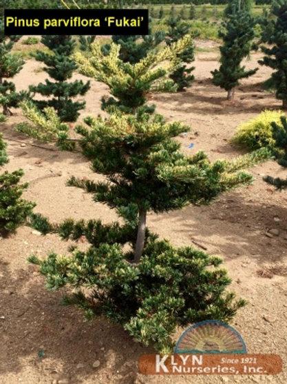 Pinus p. Fukai / Japanese White Pine