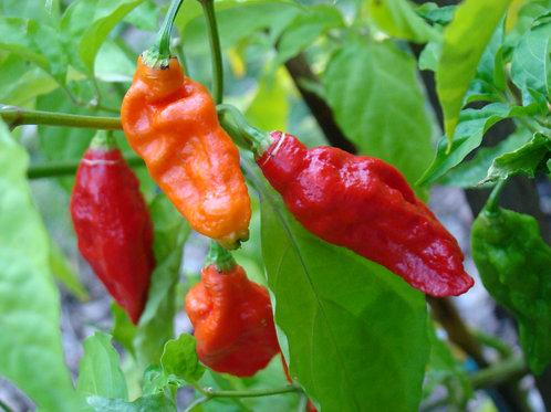 Pepper, Hot - Ghost