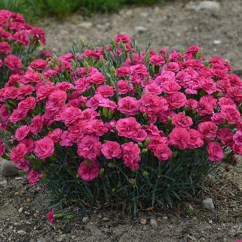 Dianthus Raspberry Ruffles