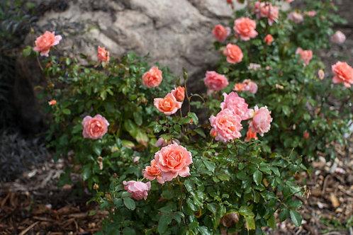 Rosa Easy Elegance Sweet Fragrance