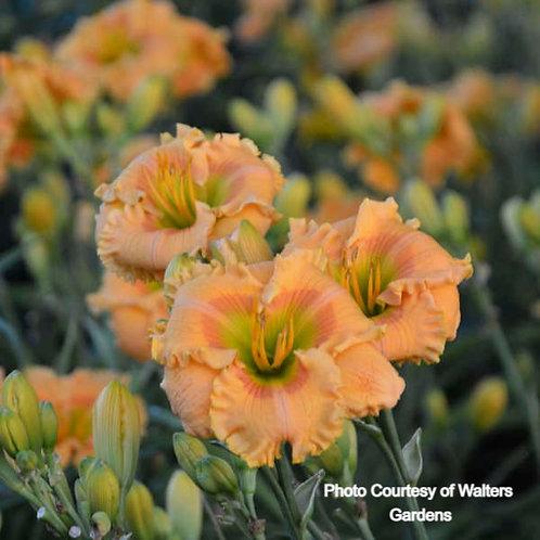Daylily - Orange Smoothie