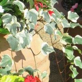 Ivy, Algerian Variegated