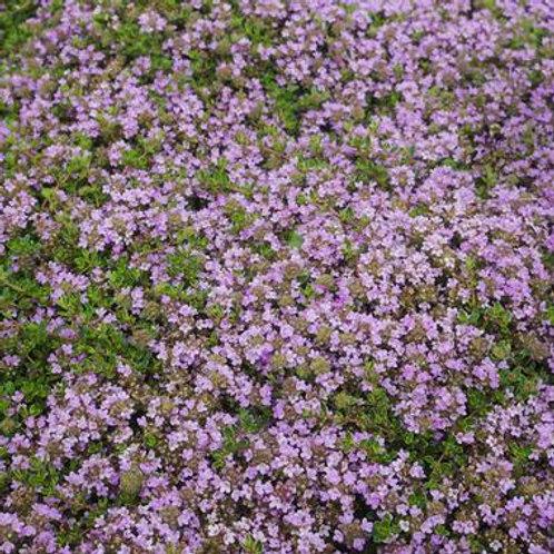 Thymus p. Purple Carpet