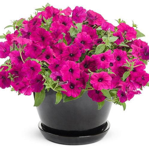 Petunia Supertunia Royal Magenta