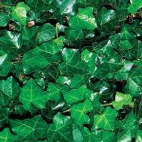 Ivy, English