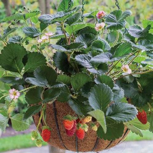 Strawberry - Rosy Belle
