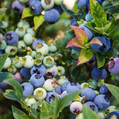 Blueberry - Jelly Bean