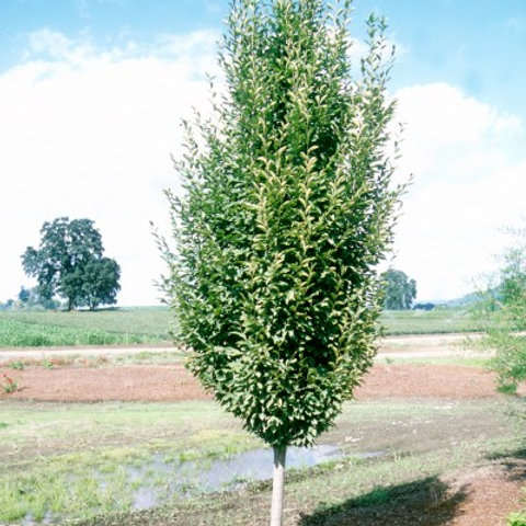Carpinus b. Fastigiata / Pyramidal European Hornbeam
