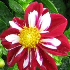 Dahlia Starsister Red & White