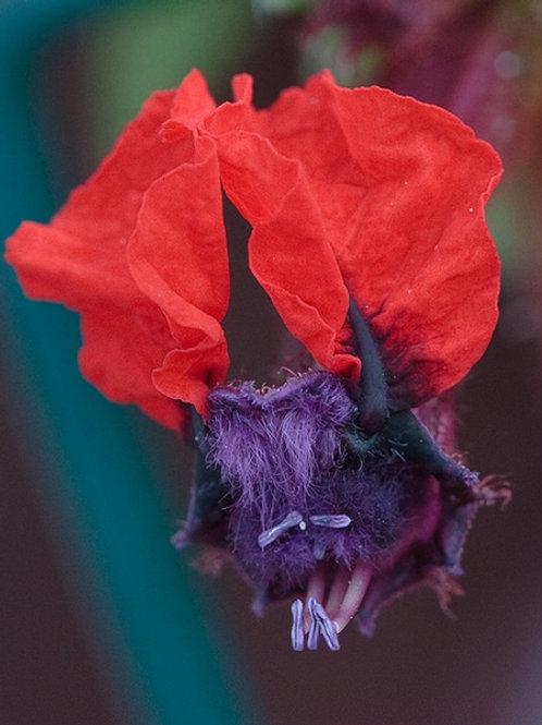 Cuphea llavea (Bat Faced)
