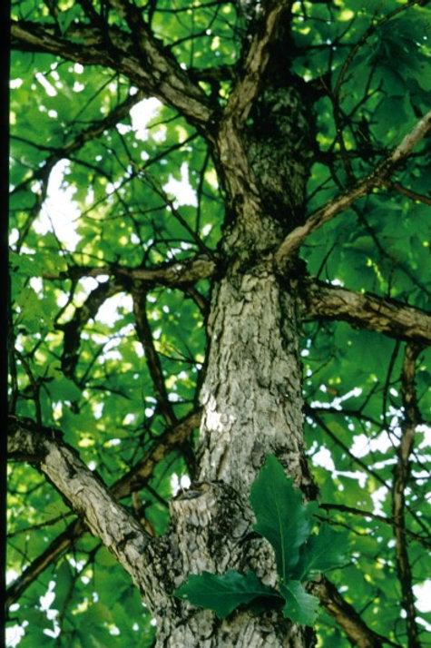 Quercus bicolor / Swamp White Oak